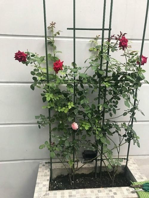 Ban công nhà chị Trang có diện tích khoảng 15 m2 nên chị chọn trồng những bụi hồng nhỏ xinh. Mỗi khóm hồng được đặt trong những bồn kè đá gọn gàng hoặc chậu cảnh có kiểu dáng lạ mắt.