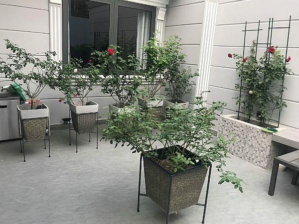 Chị Nguyễn Trang đầu tư khoảng 150 triệu đồng cải tạo ban công, mua chậu cảnh và giống hoa. Chị cho biết, các gốc hồng ngoại trong vườn chị đều có giá không rẻ. Chậu hoa được vợ chồng chị Trang đặt thiết kế riêng; có ưu điểm gọn nhẹ, chắc chắn, không đọng nước và dễ dàng xịt rửa.