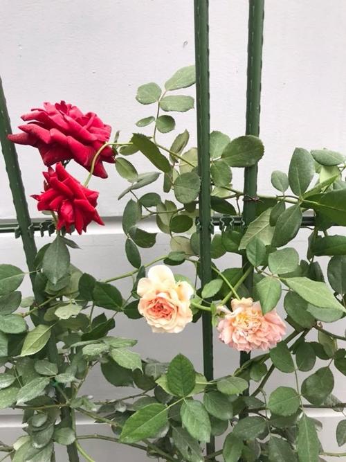 Bà mẹ hai con tâm sự, động lực khiến chị quyết tâm trồng hồng là tình yêu hoa mãnh liệt; mong muốn ông xã và các con được sống trong không gian rực rỡ sắc hồng.