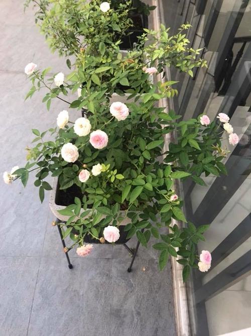 Người phụ nữ yêu hoa đặt những khóm hồng sát cửa sổ tầng hai để các thành viên trong gia đình dễ dàng ngắm nhìn. Mỗi sáng thức dậy, điều đầu tiên chị Trang làm là mở tung cửa đón ngày mới cùng những đóa hồng.
