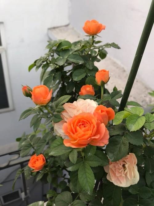 Bụi hồng leo màu cam duyên dáng khoe sắctrong tiết trời tháng 4 nhờ được chủ nhân chăm sóc kỹ lưỡng.