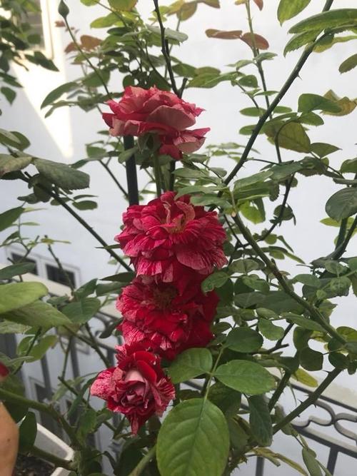 Chị Nguyễn Trang thường dậy sớm mỗi ngày để tưới nước, tỉa lá úa cho vườn hồng. Những hôm thời tiết nóng, chị tưới bổ sung một lần nữa vào buổi chiều trước 17h.Bà mẹ hai con sử dụng bã trái cây ngâm nước tưới để bổ sung dinh dưỡng cho hoa. Các bụi hồng được tỉa bỏ mầm điếc, lá vàng hoặc lá có nấm bệnh vài tháng một lần.