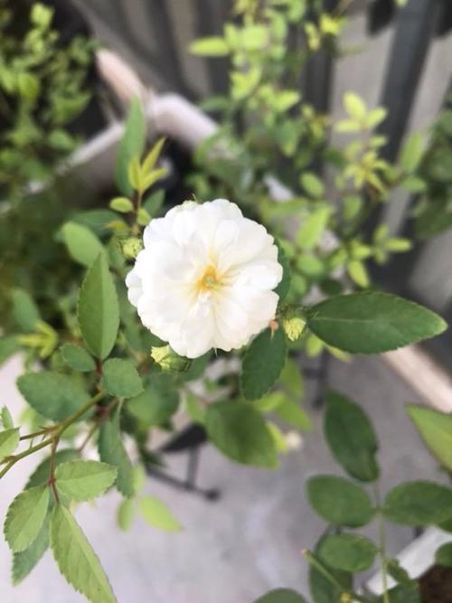 Vườn hồng ngoại 150 triệu đồng trên ban công của bà mẹ TP HCM - 8
