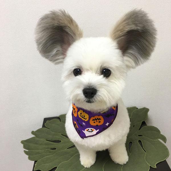 Con chó nổi tiếng nhờ đôi tai giống chuột Mickey - 1