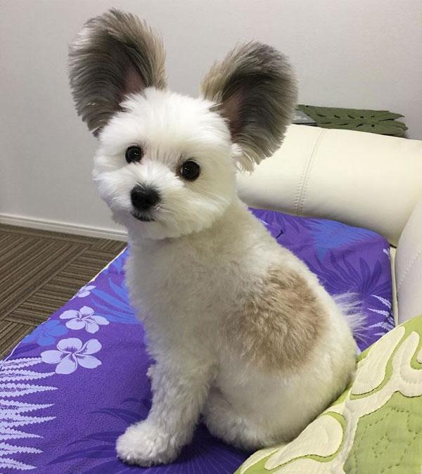 Con chó nổi tiếng nhờ đôi tai giống chuột Mickey - 2