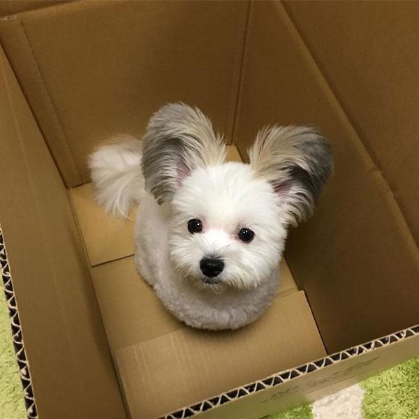 Con chó nổi tiếng nhờ đôi tai giống chuột Mickey - 3