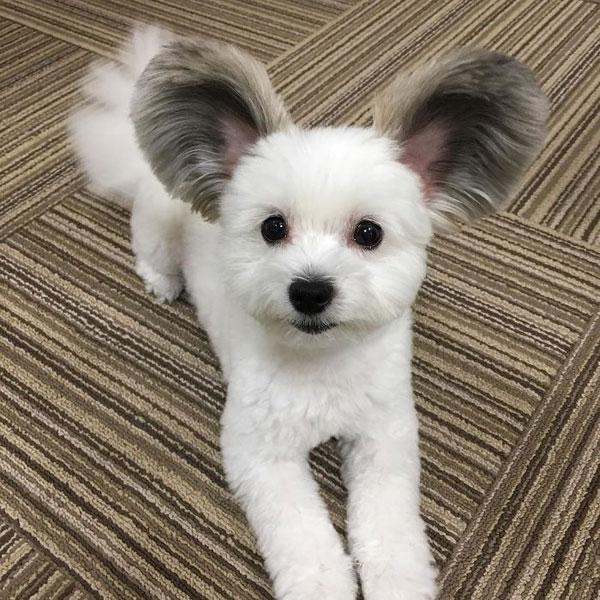 Con chó nổi tiếng nhờ đôi tai giống chuột Mickey - 4
