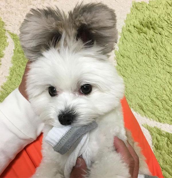 Con chó nổi tiếng nhờ đôi tai giống chuột Mickey - 5