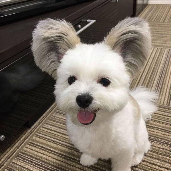 Con chó nổi tiếng nhờ đôi tai giống chuột Mickey - 6