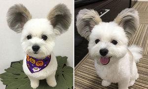 Con chó nổi tiếng nhờ có đôi tai giống chuột Mickey