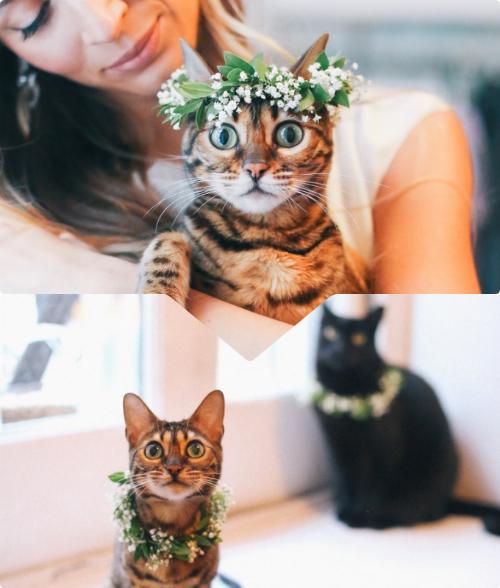 Hai chú mèo cưng được chị gái chú rể làm riêng cho vòng hoa đội đầu xinh xắn trong ngày trọng đại của chủ nhân.