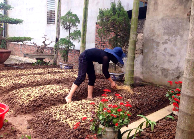 Khigieo rau, chị Sinh rắc trấu và phủ rơm để không rẽ đất, đồng thời giữ ẩm.Cây mới trồng được phủ bèo tây dưới gốc để giữ ẩm và che bớt nắng.