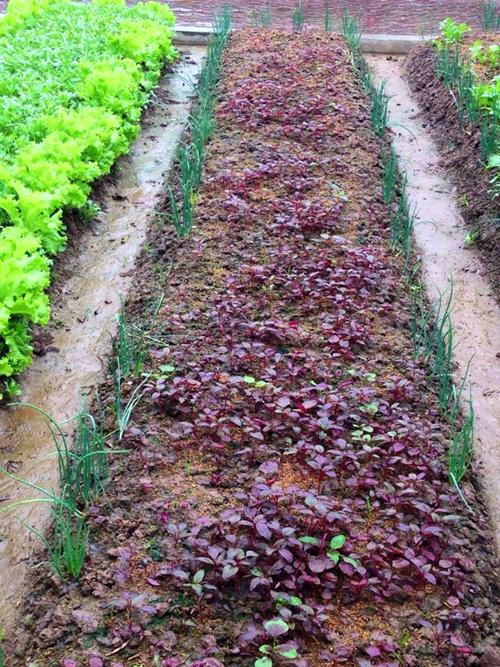 Nguyên tắc trồng là xen canh, tận dụng đất. Rau dài ngày, cây cao trồng xen với rau ngắn ngày.Rau xà lách, hành nhanh thu hoạch, tốn ít đất nên tôi trồng xen rìa luống. Như vậy vừa đỡ công làm đất, vừa tiết kiệm diện tích, lại trông đẹp mắt, chị Sinh nói.