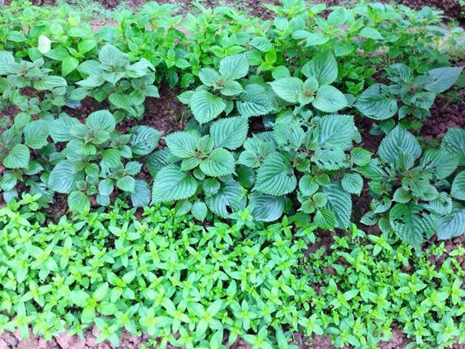 Chị Sinh cũng quy hoạch rõ nơi trồng cây ăn quả dài ngày, nơi gieo rau ngắn ngày để không ảnh hưởng nhau. Phíabên ao nhiều nắng, chị Sinh trồng cà chua, cà tím, đỗ, rau ngót, dọc mùng. Xen giữa các cây cà là rau mùi, xà lách.Bên vườn ít nắng hơn chị gieo rau cúc, dền, mồng tơi, đay và cải. Cạnh các chậu cảnh, chị trồng xen rau thơm, gia vị; còn quanh các phiến đá lối đi là chỗ cho rau diếp cá