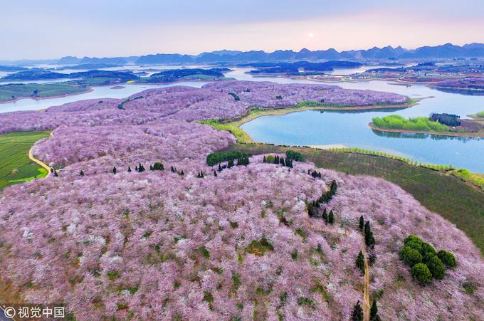 Có tới 500.000 gốc hoa anh đào ở nông trại Pingba, đồng loạt nở vào khoảng tháng 3-4 hàng năm, tùy theo tình hình thời tiết. Đây là diện tích trồng hoa do chính phủ Trung Quốc tài trợ nằm thúc đẩy ngành du lịch địa phương.