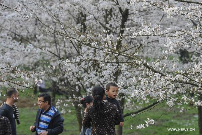 Hòn đảo hoa anh đào đẹp rụng rời ở Trung Quốc - 8