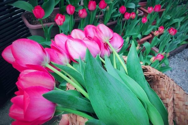 Chị Quỳnh có thói quen nán lại vài phút trước hiên nhà để hít hà hương thơm từ những khóm tulip rồi mới rảo bước đi làm.