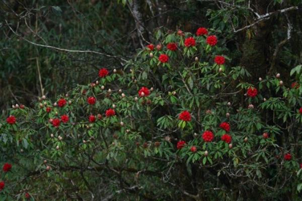 Trên con đường chinh phục Nóc nhà Đông Dương những ngày tháng tư và đến hết tháng 5, du khách sẽ có dịp ngắm nhìn những gốc đỗ quyên trăm tuổi rực rỡ sắc màu. Người dân còn tổ chức một lễ hội để tôn vinh loài hoa của núi rừng Tây Bắc với nhiều hoạt động hấp dẫn.