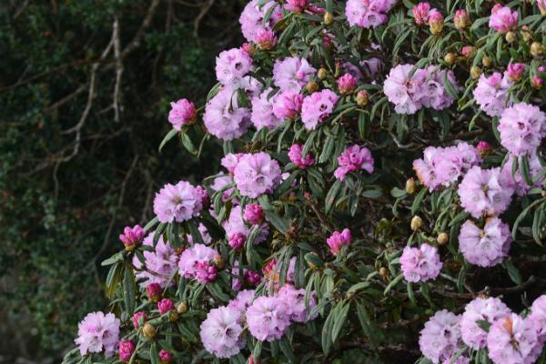 Từ lâu, rừng Hoàng Liên đã được mệnh danh là Vương quốc hoa đỗ quyên. Bởi nơi đây có hơn 40 loài đỗ quyên với đủ màu sắc như đỏ, trắng, hồng, vàng...