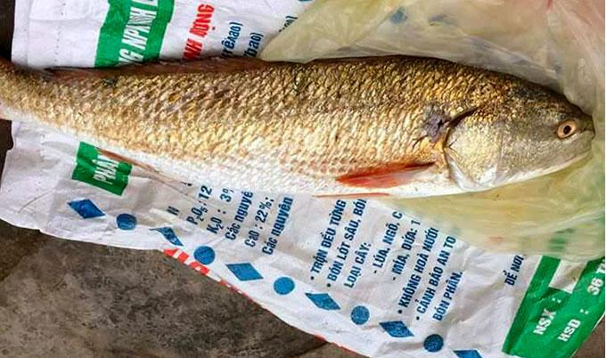 Con cá nặng 2,5 kg nghi sủ vàng quý hiếm mà anh Tịnh bắt được. Ảnh:Hùng Lê