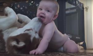 'Cậu chủ' chưa đến một tuổi quấn quýt với chú chó Husky