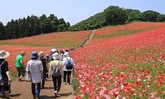 Biển hoa anh túc mướt mắt ở Nhật Bản vào tháng 5