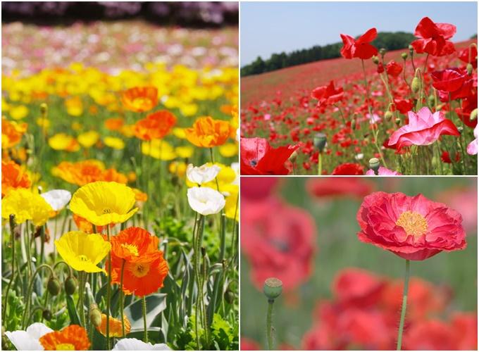 Biển hoa anh túc mướt mắt ở Nhật Bản vào tháng 5 - 1