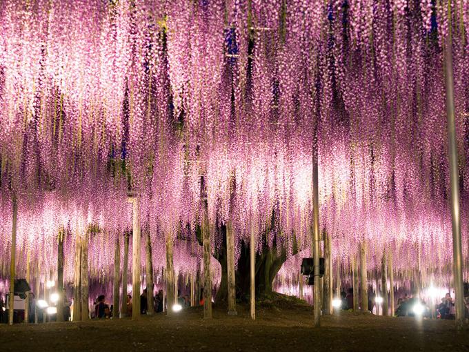 Ashikaga Flower Park, Ashigaka
