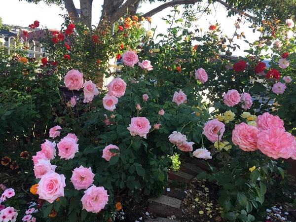 Vườn hoa của chị Nguyễn Bình khoe sắc trong thời tiết nắng nóng.