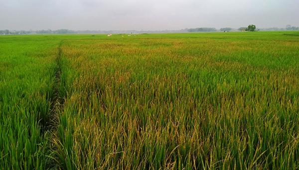 Ruộng lúa chết cháy sau khi bị ông Minh phun thuốc diệt cỏ.