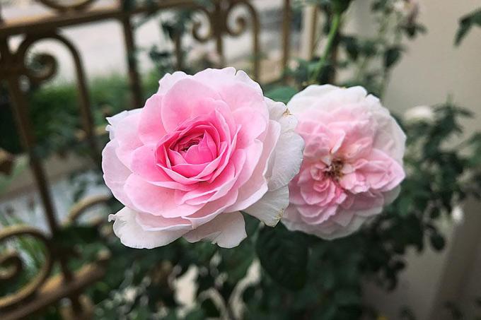 Mỗi loại hoa hồng còn cho một mùi hương khác nhau, có giống rất thơm có giống lại thoang thoảng. Chị cho hay các giống hồng ngoại: Double, Chales Dawin thơm nức mũi đến ngồi trong nhà cũng ngửi thấy hương.