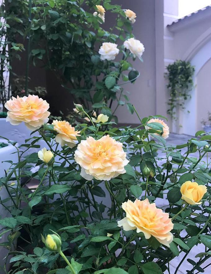 Thời gian nở hoa của hồng ta và hồng ngoại khá khác nhau. Vào mùa nóng, hồng ta khoảng 30-35 ngày, còn hồng ngoại 35-45 ngày. Vào mùa lạnh hoa sẽ nở lâu hơn, có cây hồng ngoại phải mất tới 1 tháng mới đơm hoa. Tuy nhiên, hoa đã nở thì khá lâu tàn.