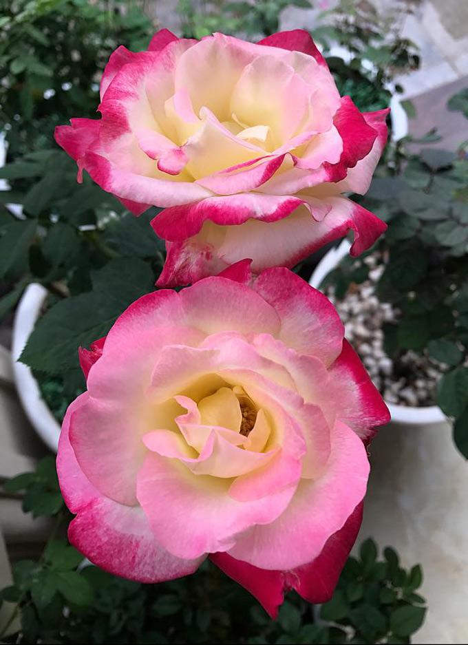 Các giống hồng ngoại đắt tiền này được chị tìm mua từ các nhà vườn trên Hà Nội hoặc nhà vườn trong thành phố.