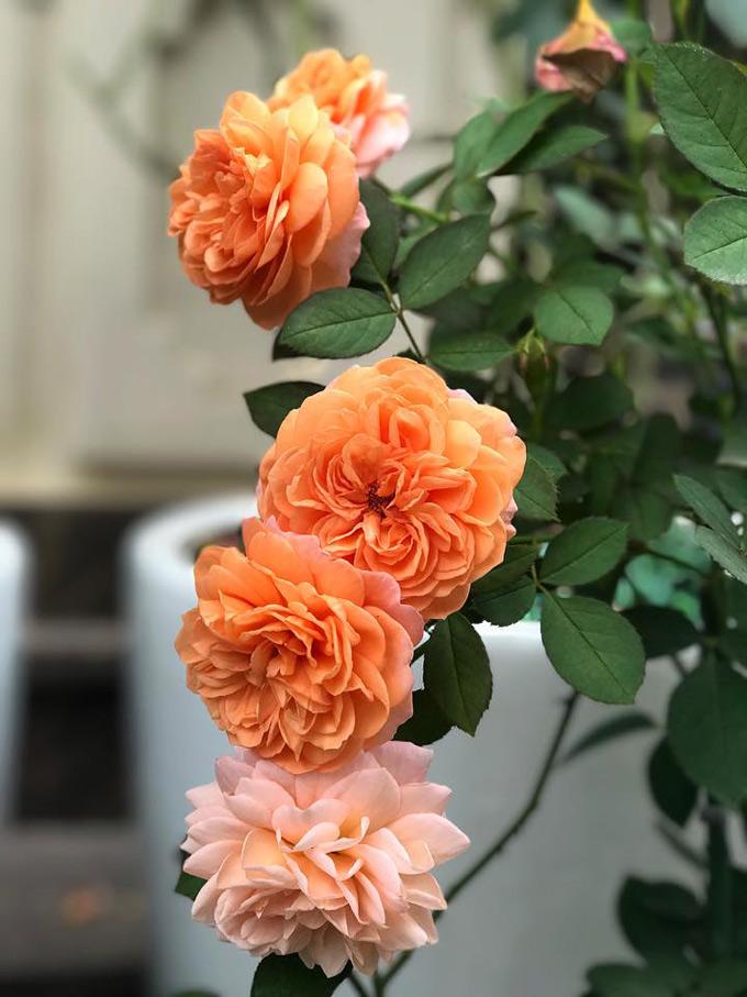Nhìn thành quả một tay mình chăm sóc, chị Mai Linh đặc biệt yêu thích. Có những lúc rảnh rỗi, chị ngồi trước sân ngắm cả buổi không biết chán. Chị thương tiếc hoa nên không nỡ cắt để cắm bình hay đem cho, chỉ muốn hoa ở trên cây để ngắm mà thôi.