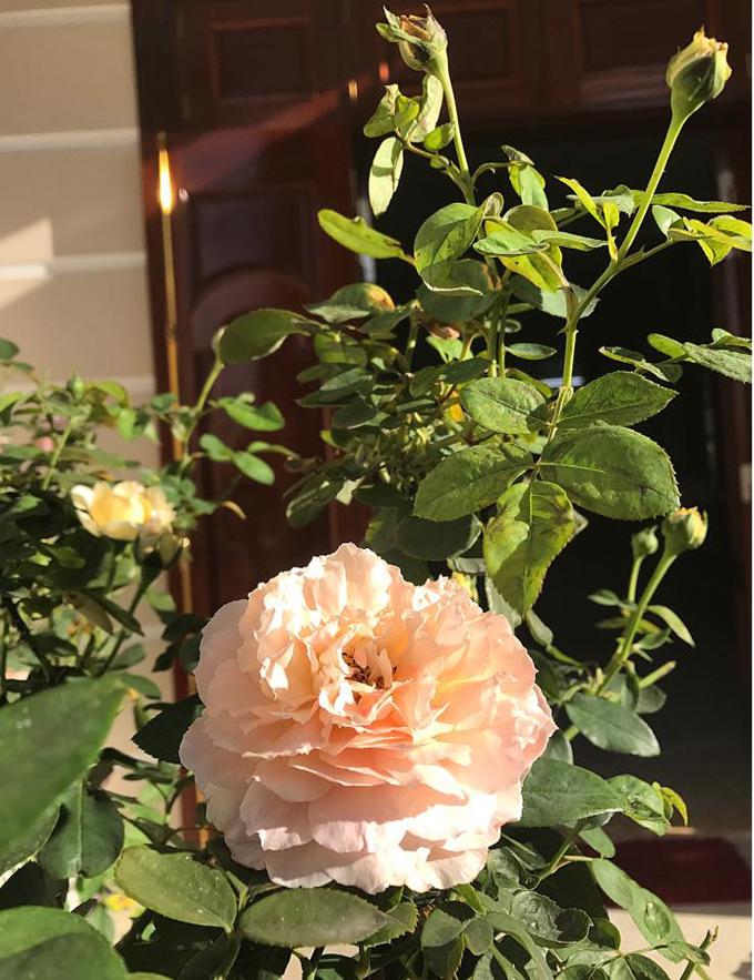 Dù là hồng bản địa hay hồng ngoại đều được chị chăm như con mọn. Chị dành thời gian vào buổi tối hoặc sáng dậy sớm trước khi đi làm để tưới cây, bón phân.
