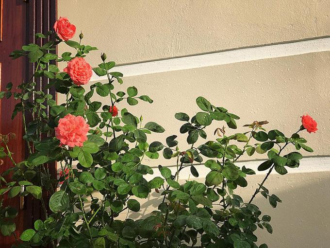 Để vườn hồng nở hoa rực rỡ, chị Linh đã lên danh sách chăm hoa chi tiết. Chị sử dụng trùn quế, đầu trấu, đạm cá mua ngoài siêu thị để bọn trực tiếp cho hoa thay vì trộn với đất. Mỗi hôm tưới một loại để cây được ăn thường xuyên. Chị còn kết hợp sử dụng cả phân bón gốc (15-30 ngày/lần) và phân tưới gốc (3,4 ngày/lần) để chăm cây. Ngoài ra, nước ngày nào cũng phải tưới.