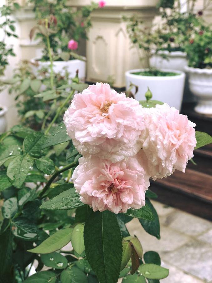 Nếu như hoa hồng bản địa được chị trồng ngay từ ngoài cổng nhà thì các giống hồng ngoại nổi tiếng: Double delight, Julio, Miranda, Kate, Kent&được chị trồng từ phần sân cho đến bậc thềm ngôi nhà.
