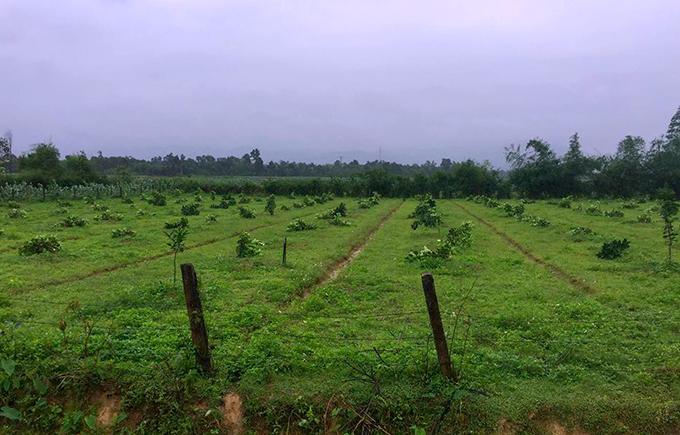 Vườn bưởi gần 200 gốc của gia đình ông Hanh bị phá hoạiđêm 6/4. Ảnh: Hùng Lê