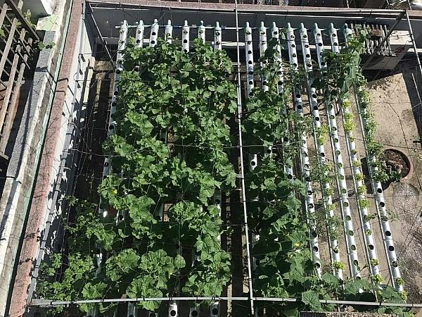 Chàng trai Quy Nhơn thu 100 kg rau mỗi vụ từ khu vườn sân thượng