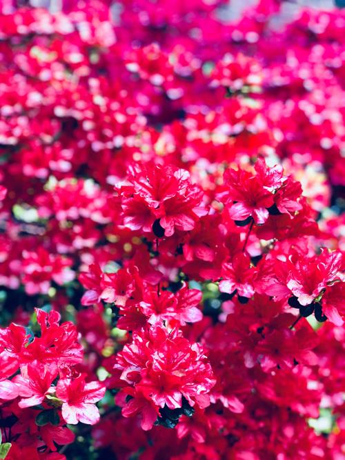 Chị cho biết thời tiết nơi gia đình chị sống mùa xuân thuận lợi nên chị không mất nhiều thời gian chăm sóc những khóm hoa. Mỗi ngày, chị tưới cây vào buổi sáng sớm hoặc 16-17h. Hàng tháng, chị bổ sung dinh dưỡng cho cây bằng các loại phân bón hữu cơ.