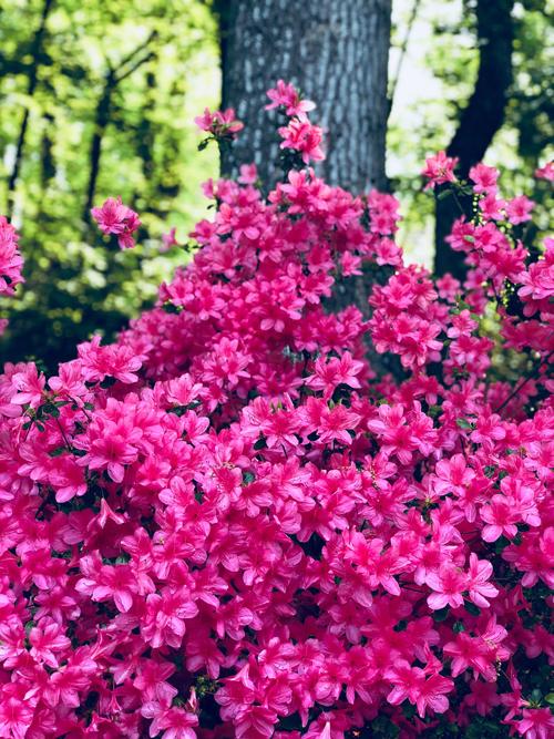 Sắc hoa đỗ quyên ngập vườn nhà Bằng Lăng ở Mỹ - 4