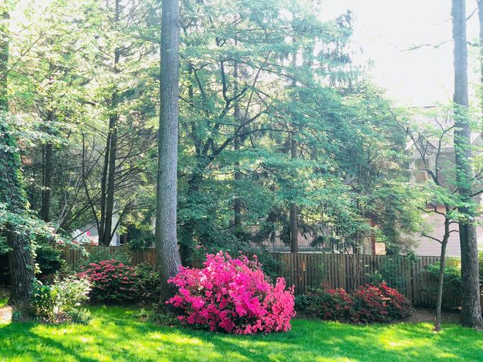Vườn nhà Bằng Lăng rộng tới 800 m2, phần lớn là trống cây xanh to. Những khóm hoa đỗ quyên tuy không nhiều nhưng lại là điểm nhấn của khu vườn mỗi dịp xuân về. Bà mẹ hai con trồng hoa đỗ quyên nhiều màu: hồng, đỏ, tím, trắng thành từng bụi dưới các gốc cây to.