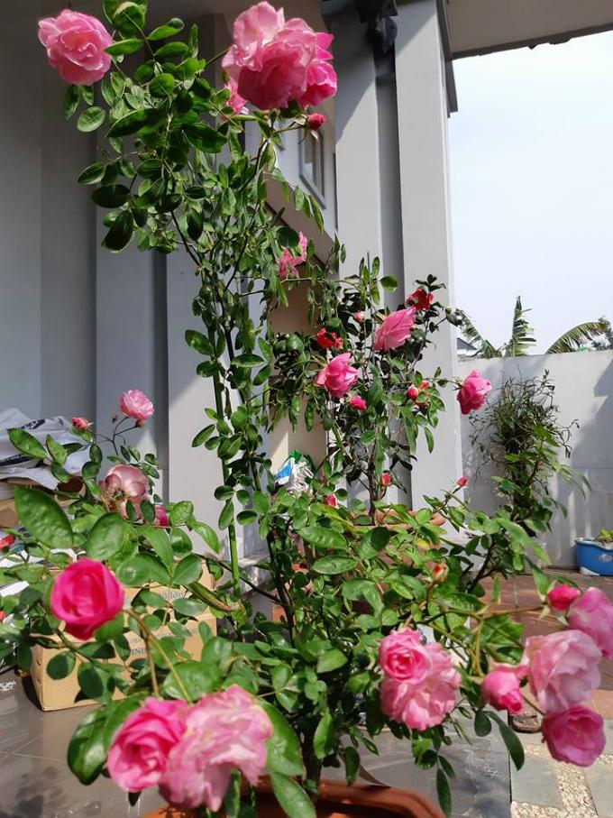 Hoa hồng Summer Snow là một trong các gốc hồng chị Liên đặc biệtyêu thích trong vườn nhà.