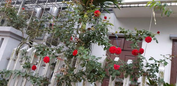 Hồng Monalisa khoe sắc một góc vườn.