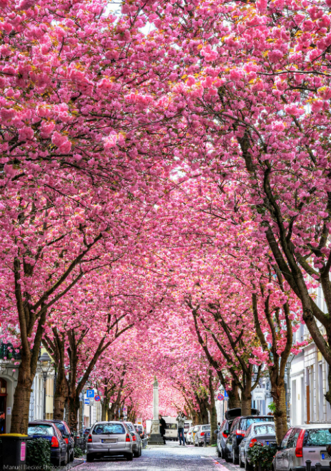 Đường hầm hoa anh đào đẹp rụng rời ở Đức