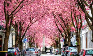 Con đường được 'nhuộm hồng' sắc hoa anh đào ở Đức