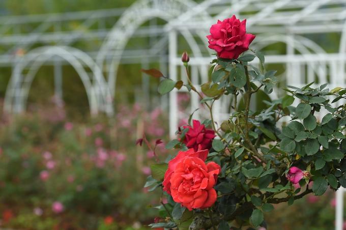 Ngắm hoa hồng nở rộ tại Sapa - 8