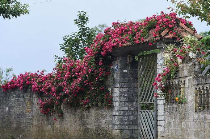 Những ngày đầu hè, khu du lịch nổi tiếng Sapa tràn ngập hoa hồng trên những con đường, mái nhà... thu hút nhiều du khách đến đây