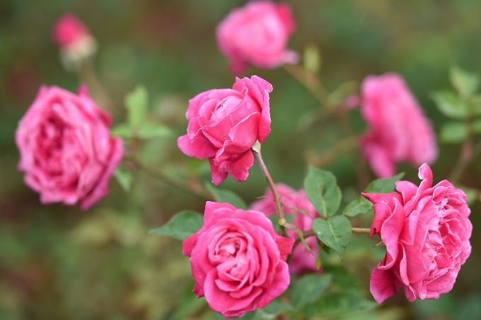 Ngắm hoa hồng nở rộ tại Sapa - 6