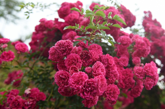 Ngắm hoa hồng nở rộ tại Sapa - 7